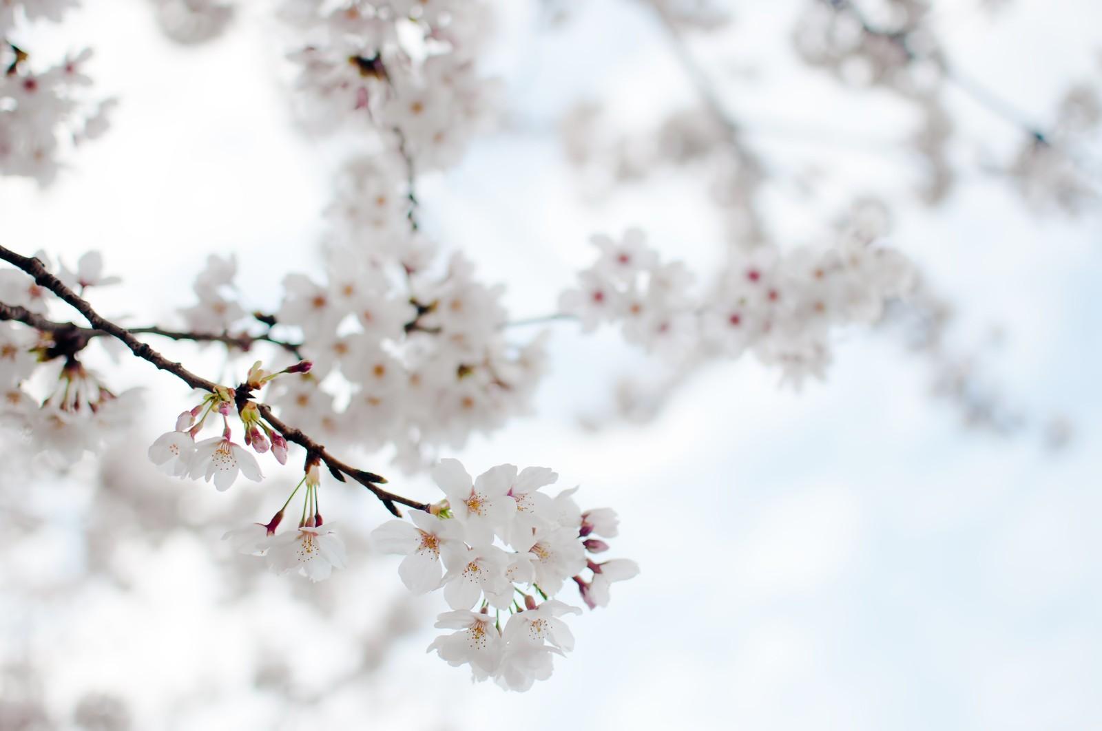 たおやかにゆれる桜